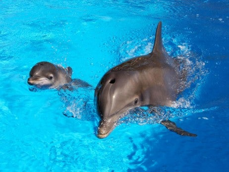 Train with Dolphins at Siegfried and Roy's Dolphin Habitat