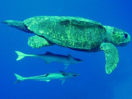 Sea Turtle with Friends