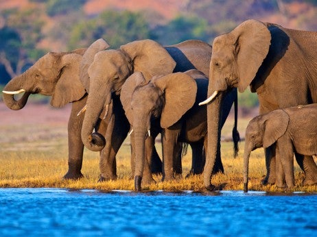 Elephants at Sunset in Botswana's Chobe National Park
