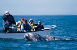 grey whales_2