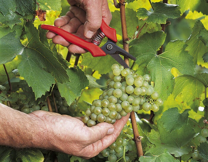 close up of cutting champagne grapes