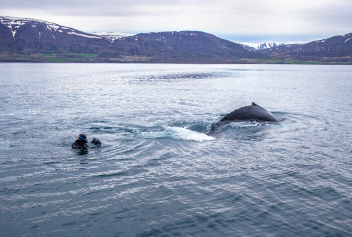 Diver photographing humpback whale in iceland