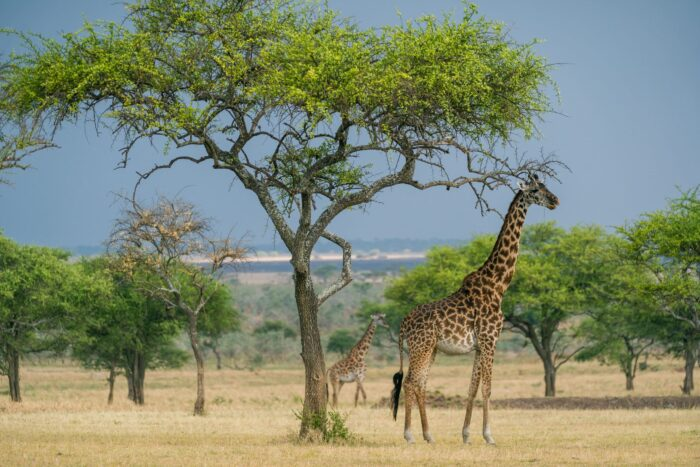two giraffes outside singita safari lodge
