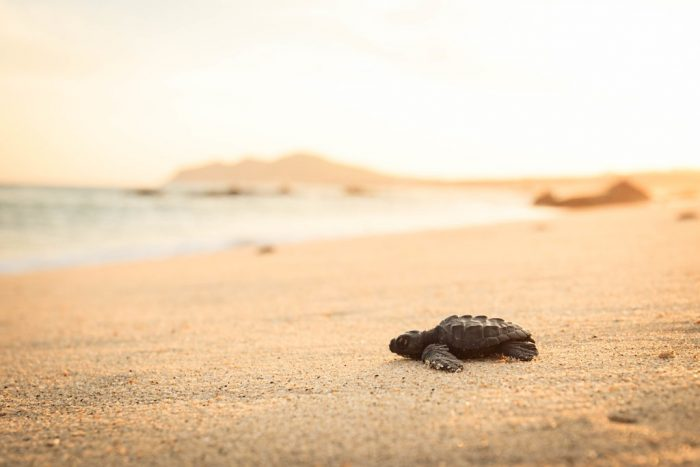 Baby Sea Turtle on Beach
