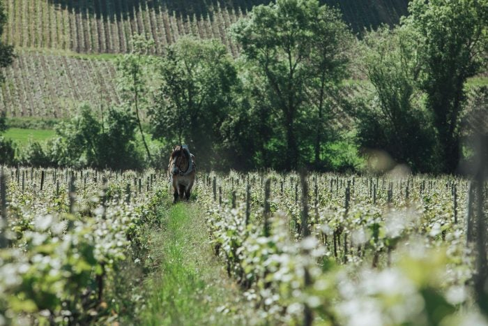 A horse wanders through one of Telmont's vineyards.