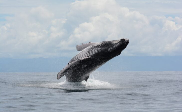 humpback whale jumping on isla secas whale watching tour